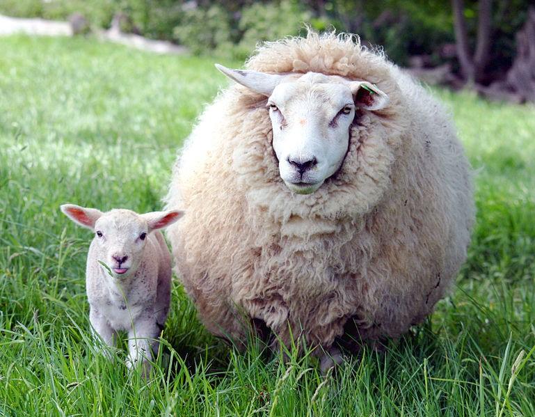 File:Ewe and lamb in Kent.jpg